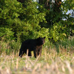 poygan-bear